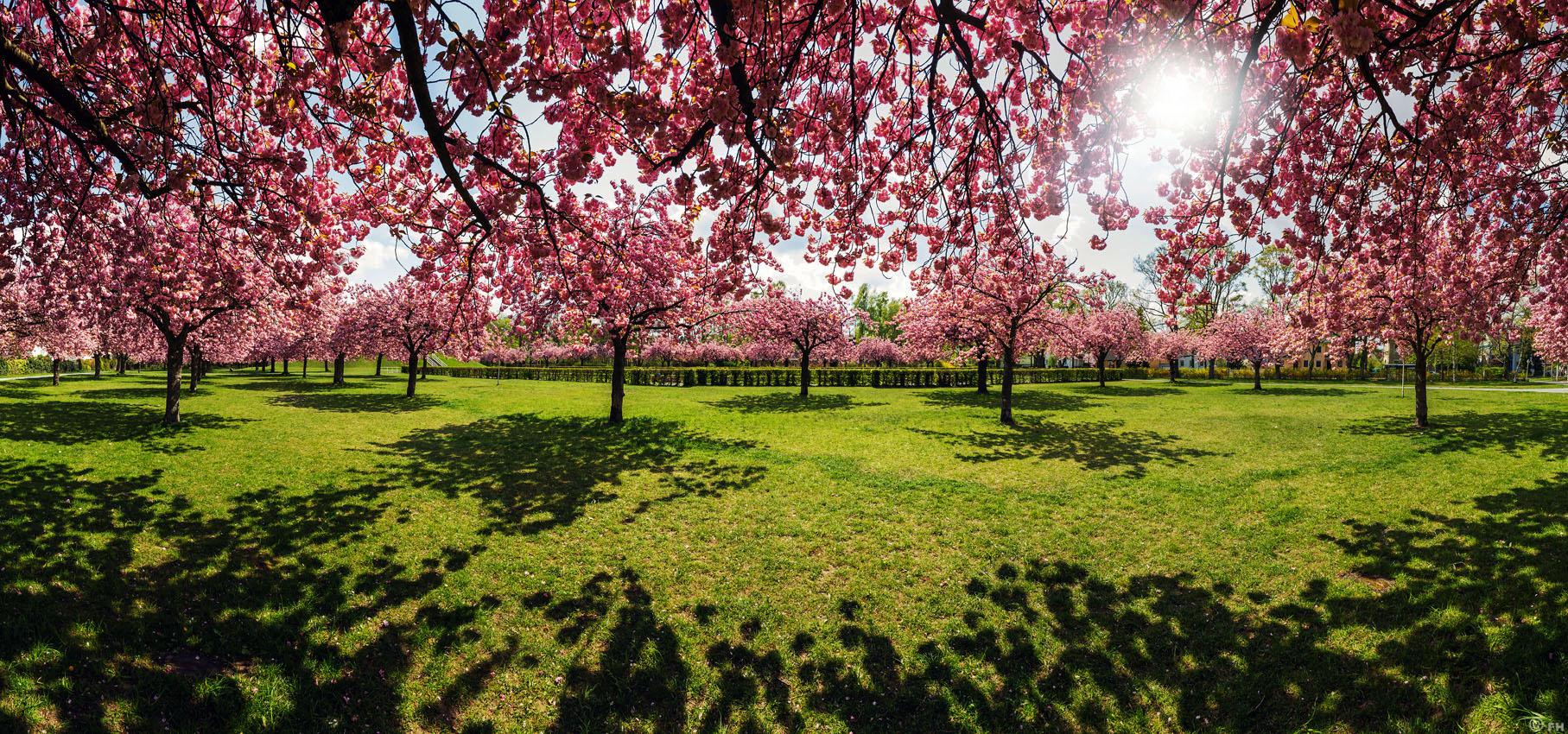 CherryBlossom_Pano_1_k2